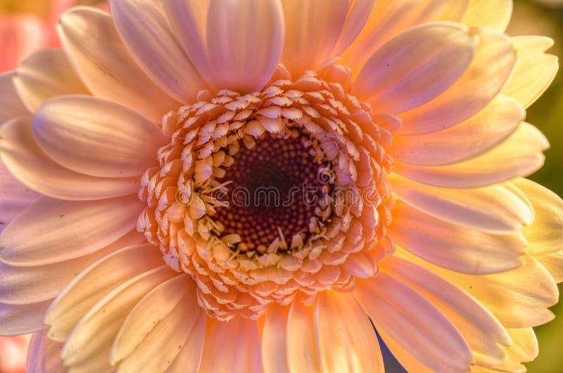 Naturalny kremowy gerbera kwiat zdjęcie stock
