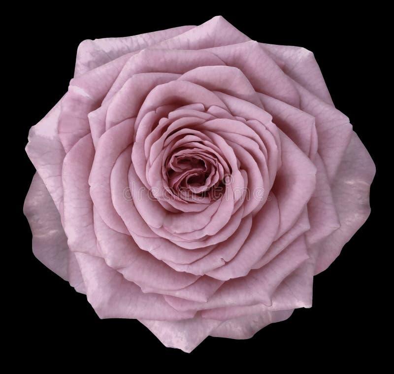 Naturalny kwiat różowi różanego Kwiat odizolowywa na czarnym tle z ścinek ścieżką Zakończenie fotografia royalty free