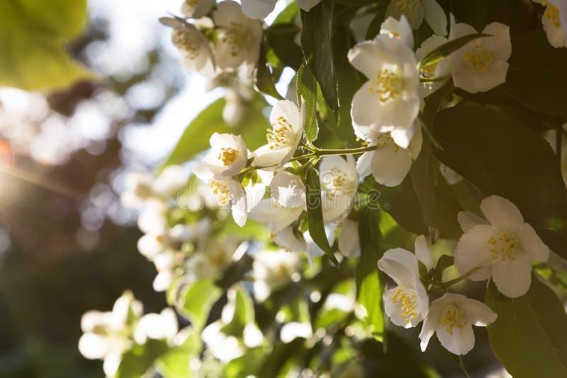 Naturalny kwiecisty tropikalny egzotyczny botaniczny tło z kwiatami Uprawia? ogr?dek Gałąź delikatny kwitnący fragrant biały jaśm obrazy stock