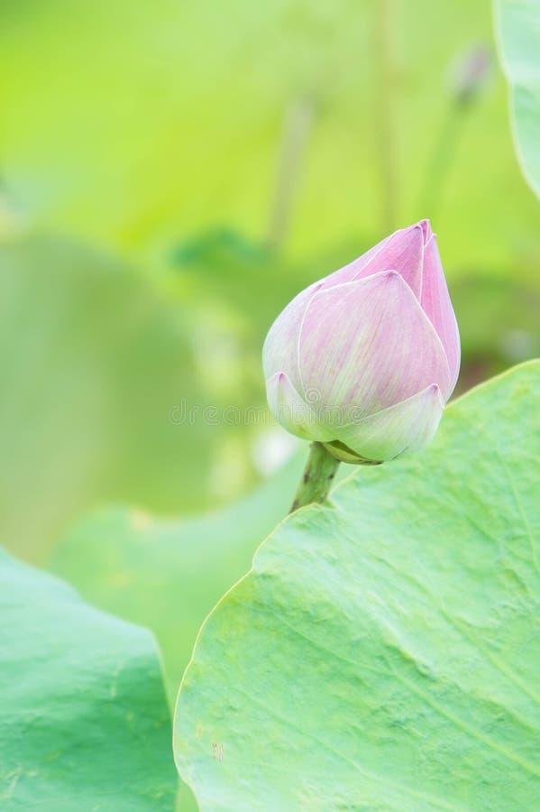 Naturalny Lotosowy kwiat na święcie religijnym, lotosie lub waterlilly zielonym tle, zdjęcie stock
