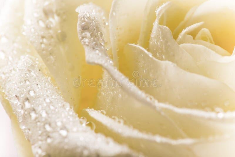 Naturalny odcień żółtych róż tło obraz stock