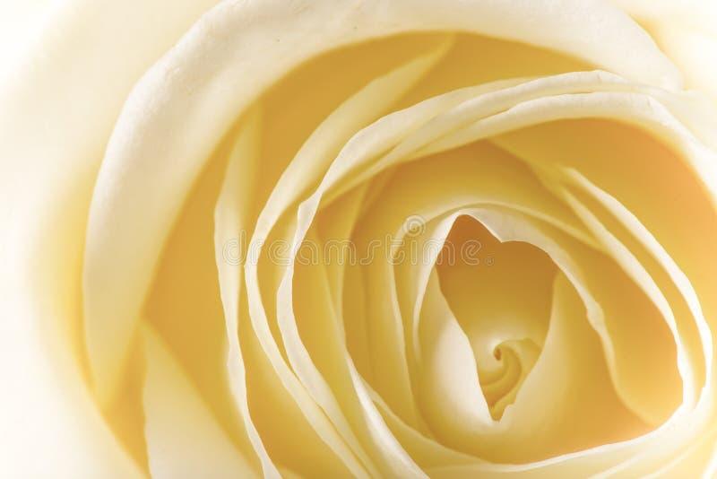 Naturalny odcień żółtych róż tło obrazy royalty free