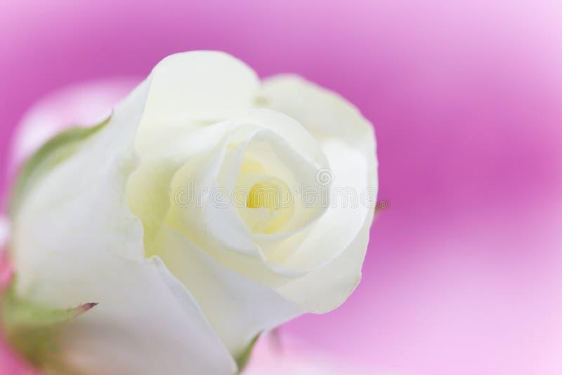 Naturalny odcień żółtych róż tło zdjęcia stock
