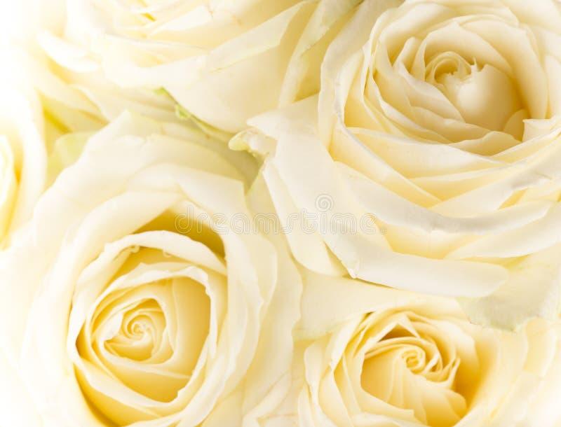 Naturalny odcień żółtych róż tło zdjęcie royalty free