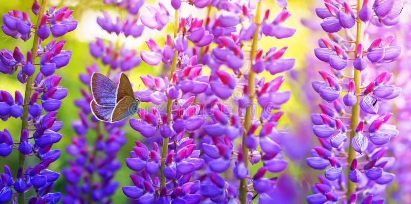 Naturalny panoramiczny tło z pięknym motylim gołębim obsiadaniem w lato ogródzie na jaskrawym bzu, purpur i menchii lupine, zdjęcia royalty free