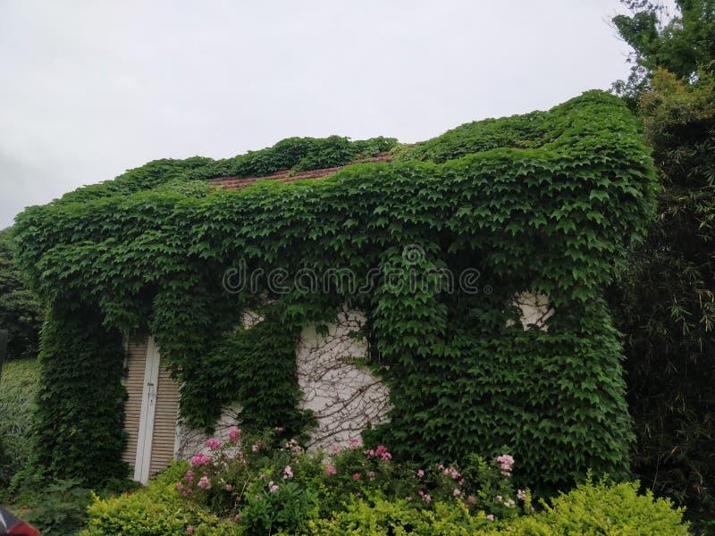 Naturalny piękny dom zakrywający w pełzaczu zdjęcie royalty free