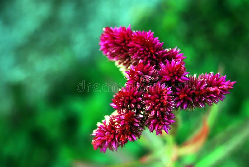 Naturalny, Plumed grzebionatka kwiat, Naturalny piękno obrazy royalty free