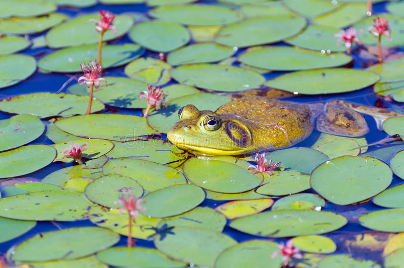 Zbliżenie byk żaba na leluja ochraniaczach obraz stock
