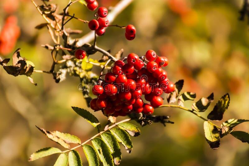 Naturalny Ptasiego jedzenia obwieszenie Od gałąź Wiecznozielony drzewo zdjęcie royalty free