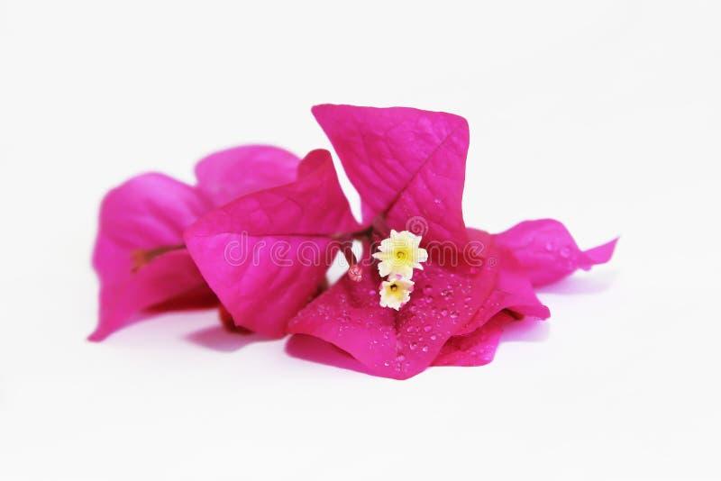 Naturalny różowy bougainvillea kwitnie z płatkami na białym tle obraz stock