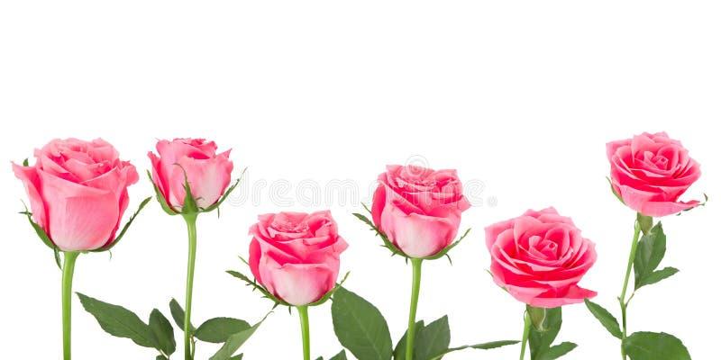 Naturalny różowy róży tło zdjęcie stock