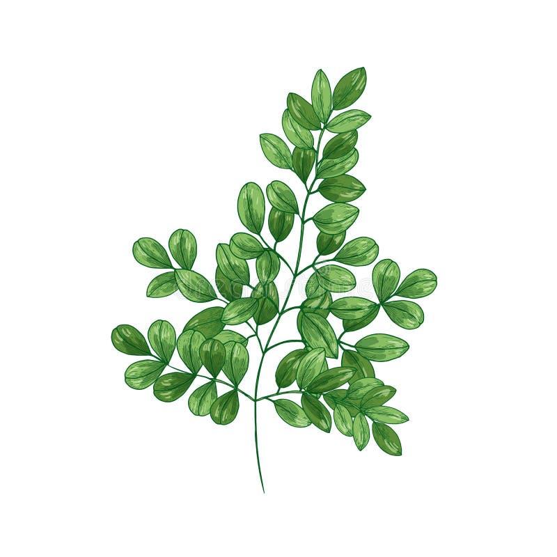 Naturalny realistyczny rysunek cudu drzewo oleifera Moringa lub Zielarska lub zielna roślina używać w tradycyjnej medycynie ilustracja wektor