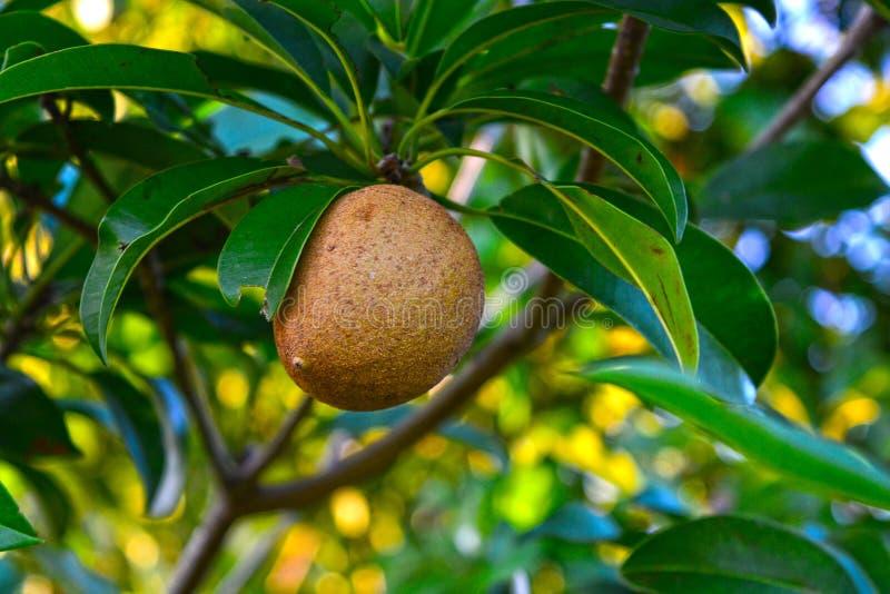 Naturalny sapote z liśćmi w drzewie obraz stock