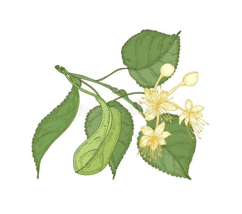 Naturalny szczegółowy rysunek lipowy sprig z liśćmi i pięknym kwitnieniem kwitnie Wspaniała leczniczej rośliny ręka rysująca ilustracji