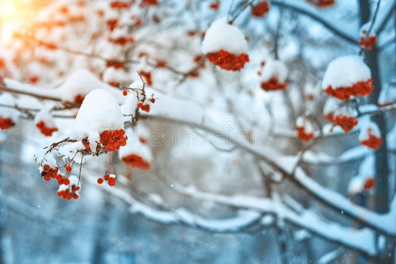 Naturalny tło Jaskrawe czerwone jagody zakrywać z śniegiem halny popiół zdjęcie royalty free