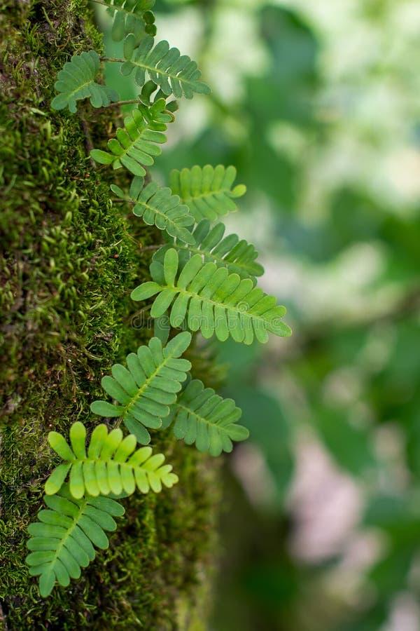 Naturalny tło paproć, mech i miękka część Skupiający się zieleń liście, fotografia stock