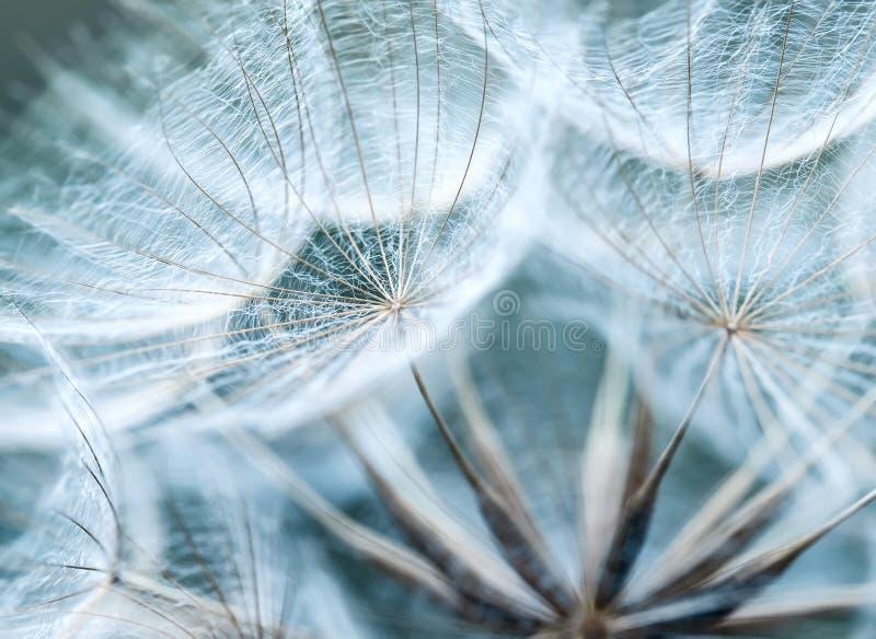 Naturalny tło puszyści ziarna dandelion kwiat wewnątrz obrazy royalty free