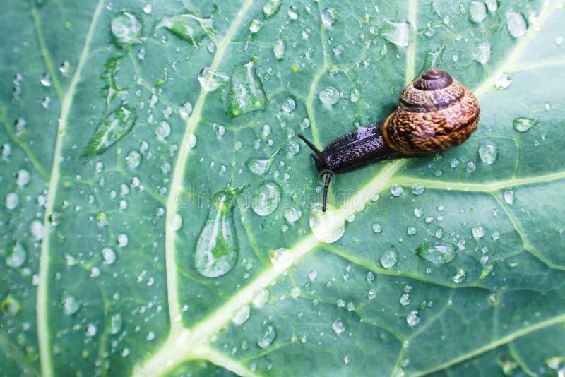 Naturalny tło z ślimaczka czołganiem na mokrym kapuścianym liściu obraz stock