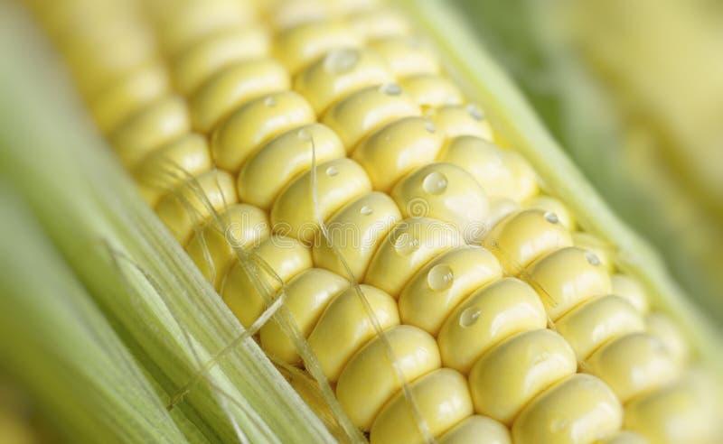 Naturalny tło z młodymi kukurudzy i wody kroplami obraz stock
