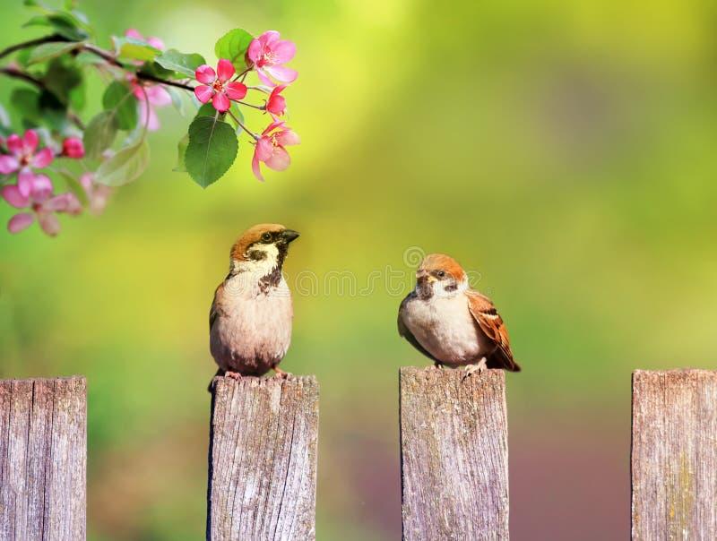 Naturalny tło z ptakami i kurczątko wróblami siedzi na drewnianym ogrodzeniu w wieśniaka ogródzie otaczającym jabłonią kw obraz stock