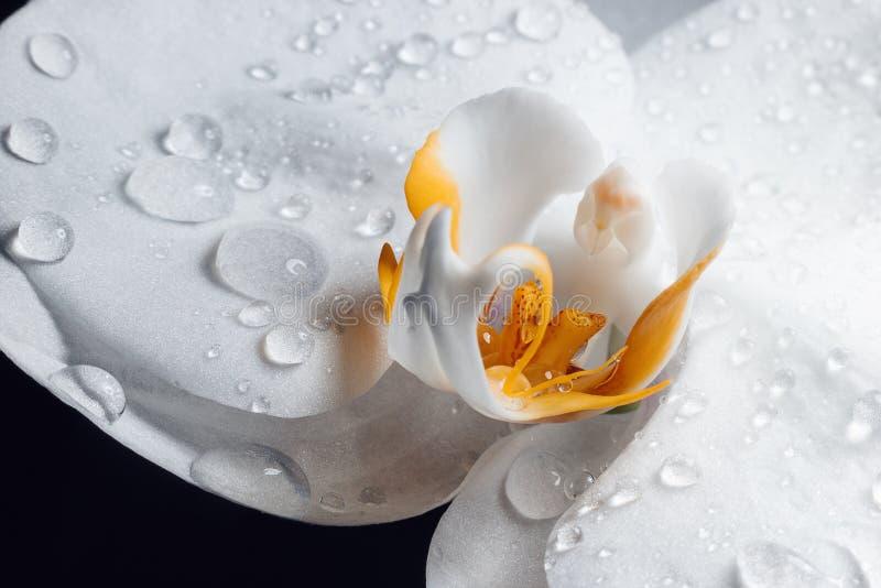 Naturalny t?o Du?e pi?kne wod krople na bia?ej orchidei kwitn? makro- Makro- widok abstrakcjonistyczna natury tekstura zdjęcie royalty free