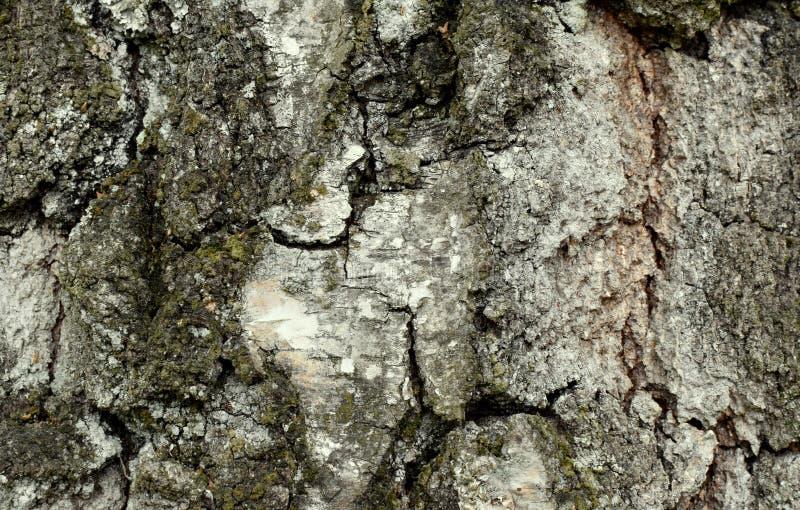 Naturalny tekstury tło, drzewna barkentyna od starego przyrosta brzozy obraz royalty free