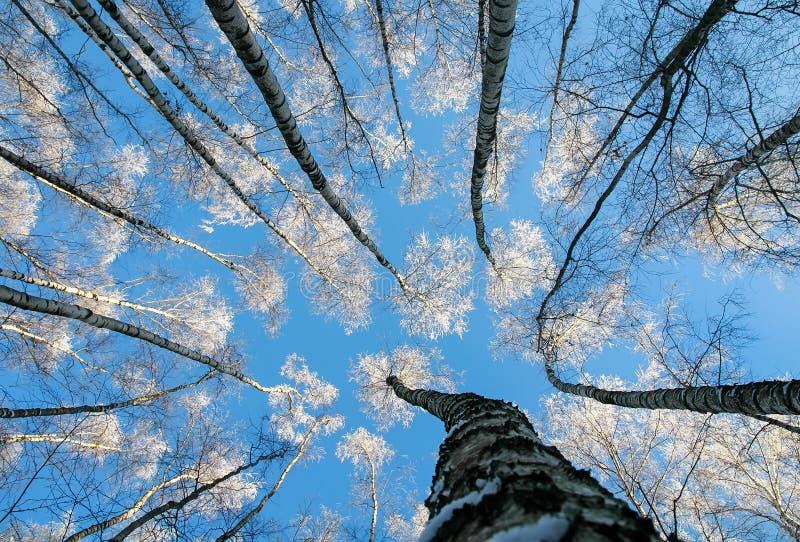 Naturalny widok od dna wierzchołki brzoz drzew cov zdjęcie royalty free