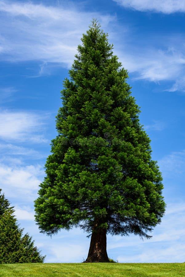 Naturbakgrund av det symmetrisk triangel formade vintergröna trädet med blå himmel med strimmiga vita moln i bakgrunden fotografering för bildbyråer