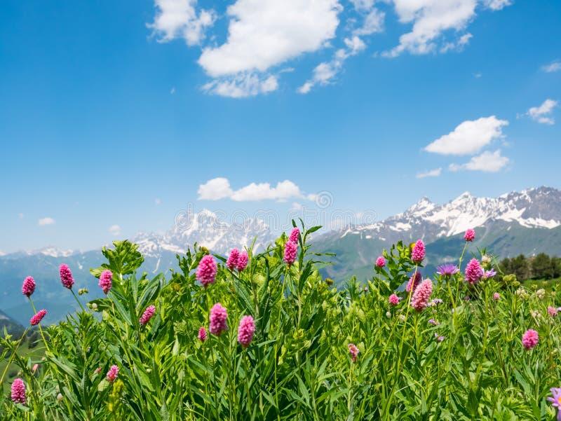 Naturbakgrund med berg, fält av lösa blommor royaltyfri bild