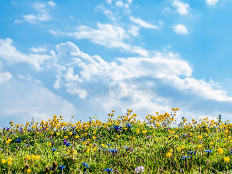 Naturbakgrund med fältet av lösa blommor och blå himmel royaltyfri foto