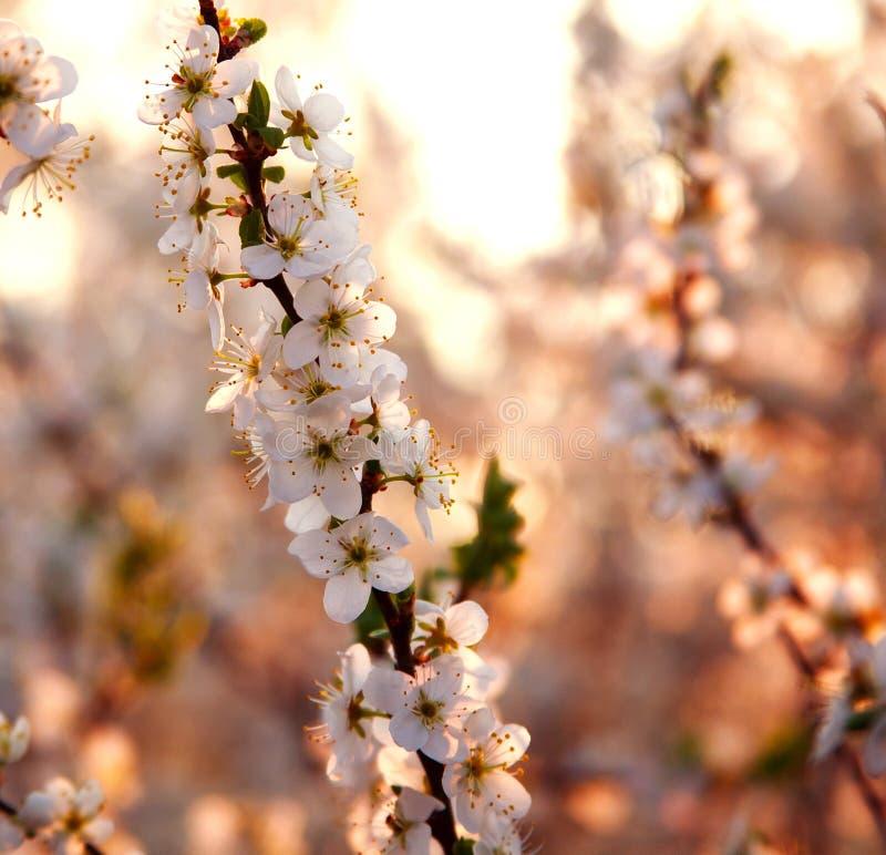 Naturbakgrund som blommar trädgårds- träd i solnedgångljus arkivbilder
