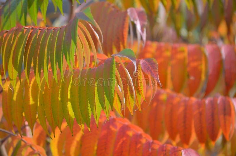 Naturbakgrund - staghornsumac royaltyfri fotografi