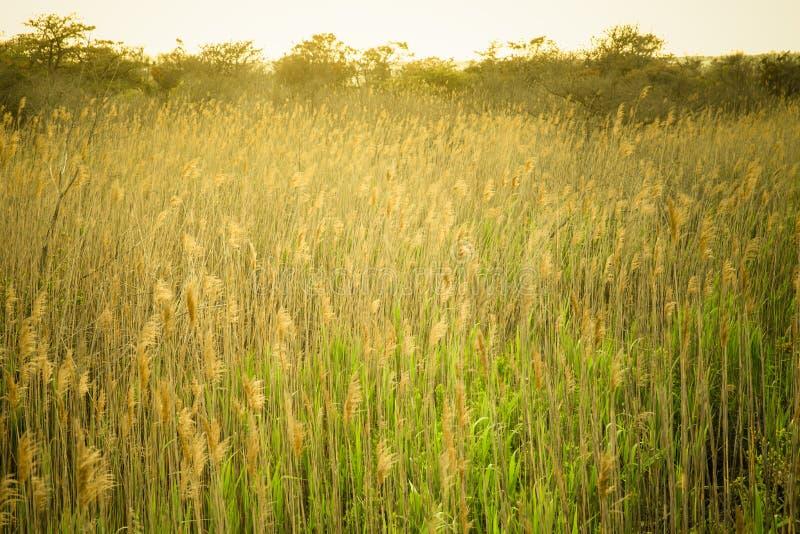 Naturbild av högväxt gräs längs kust- område arkivfoto