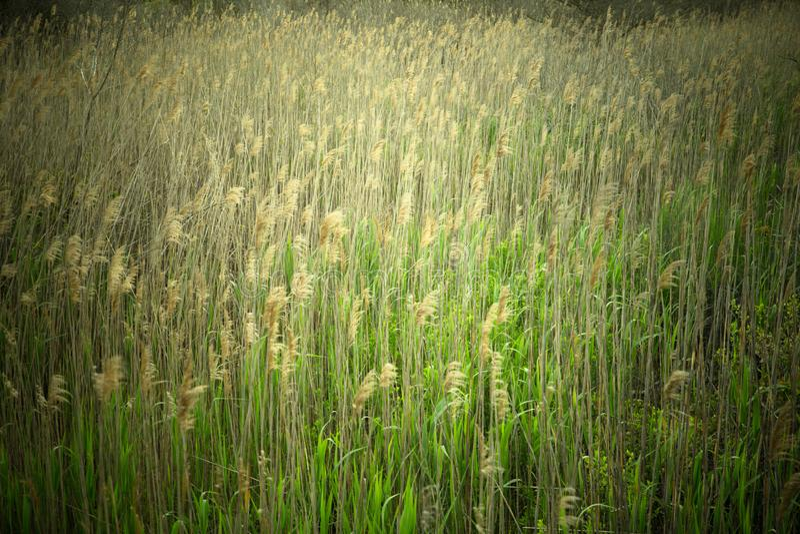 Naturbild av högväxt gräs längs kust- område royaltyfri foto