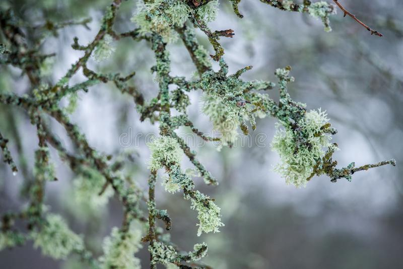 Naturdetailbaumaste mit Moos stockbild