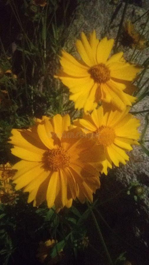 Nature& x27; красота времени весны s Желтое цветене счастья стоковые фото