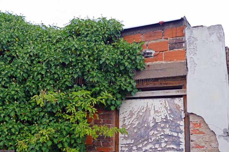 Nature absorbs human labor - ivy. Climbing up masonry old house stock images