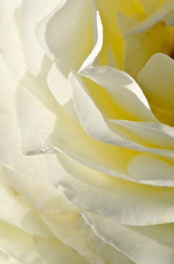 Nature Abstract: Lost in the Gentle Folds of the Delicate White Rose stock image