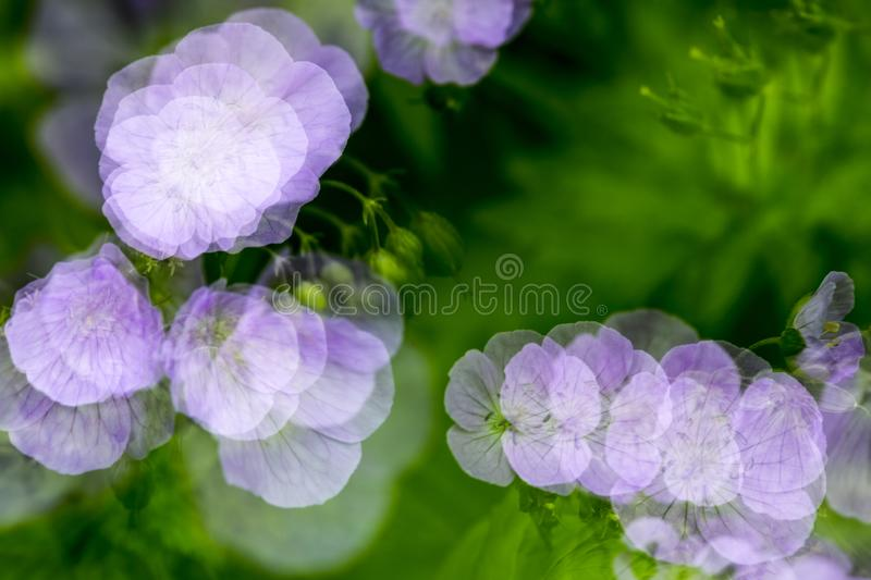 Nature abstract multiple exposure of wild geranium flowers in Connecticut. Nature abstract of wild geranium, Geranium maculatum, blooming in the Belding Preserve royalty free stock photo