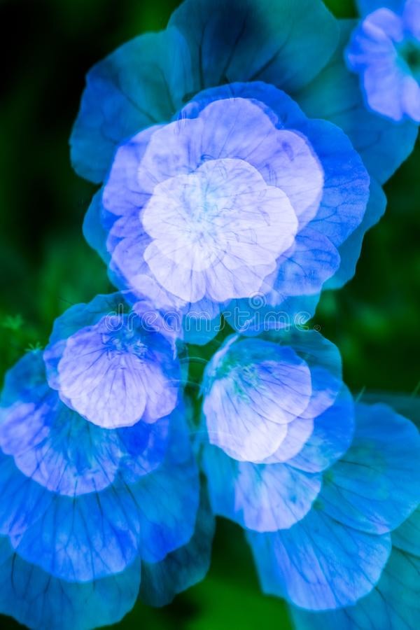Nature abstract multiple exposure of wild geranium flowers in Connecticut. Nature abstract of wild geranium, Geranium maculatum, blooming in the Belding Preserve royalty free stock image