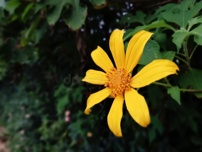 Nature addicted attractive yellow flower. This is a beautiful yellow colour flower which was grown in a Srilankan hill country side village are stock photo