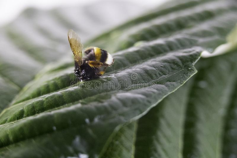 Nature alert concept: close up of a bumble bee Bombus dead in selective focus on a green leaf stock photos