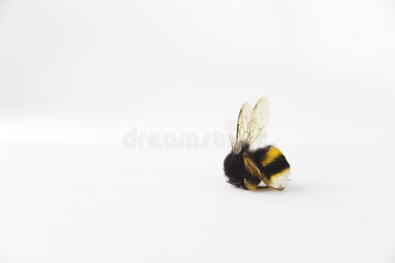 Nature alert concept: close up of isolated bumble bee Bombus dead in selective focus on white background stock photography