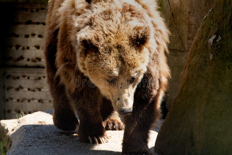 Brown bear is looking for a suitable place where there is no hot sunlight royalty free stock images