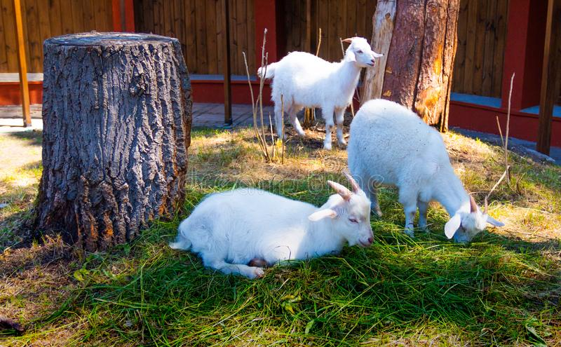 The goats graze on warm sunny day stock images