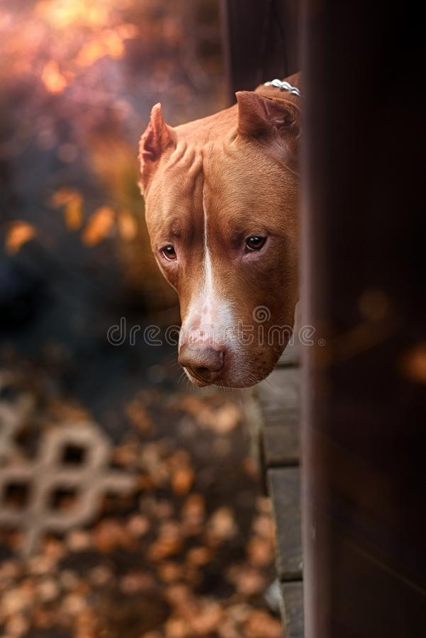 Nature Autumn Animals Leaves Dogs Iron Pitbull. Natural Park Background royalty free stock photo
