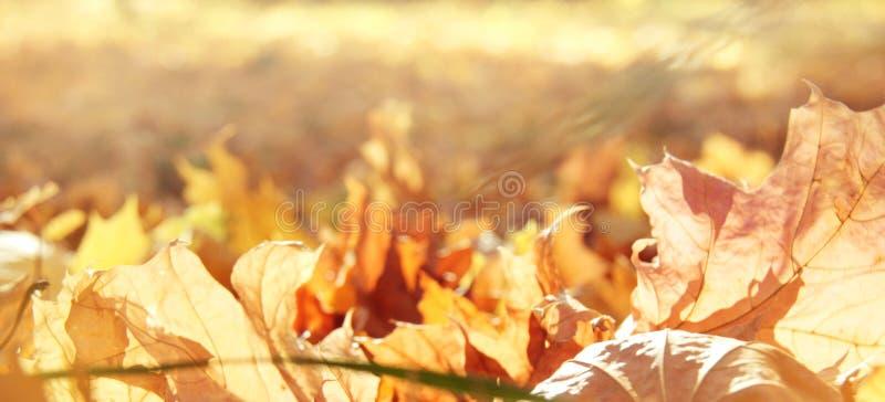 Nature autumn panoramic background with maple foliage royalty free stock photo
