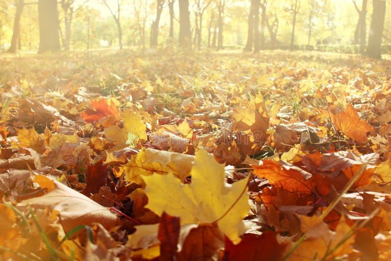Nature autumn panoramic background with maple foliage stock photos