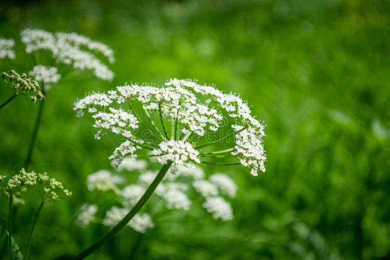 Nature background. Beautiful white flower against green background. Blurred photo bokeh royalty free stock images