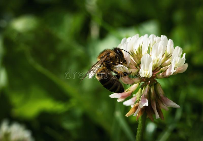Nature background bee on white clover. Nature seasonal background bee on white clover royalty free stock photos